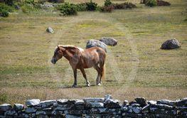 Häst på alvaret på södra Öland