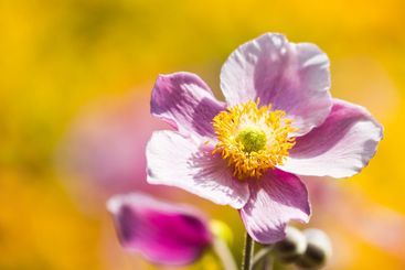 Pink Japanese Anemone or Anemone japonica flower