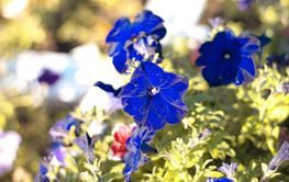 blue flower Campanula ad dry sunny day