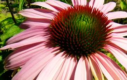 Photo: Gilbert Lambing, Echinacea Purpurea