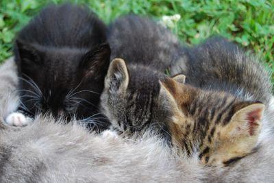 Mother cat suckles her sons