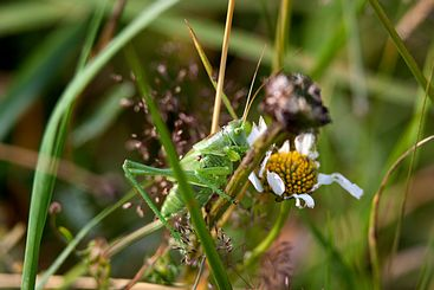 Green grasshopper Tettigonia viridissima