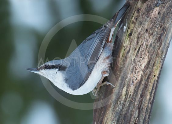 Nuthatch a cold winter day in February