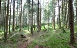 Pine forest with green moss.