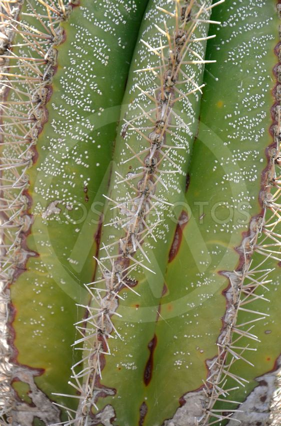 Saguaro Cactus Grooves and Spines Texture