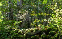 Lövskog med en gammal mossbevuxen stenmur i Ölands...