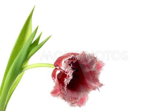 White-red tulip on a white background