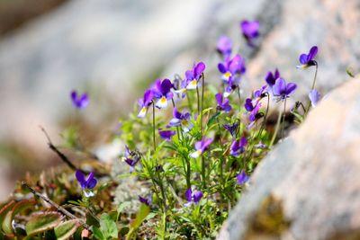 en grupp styvmorsvioler i bergsskreva