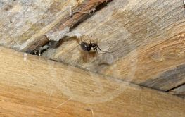 Brown home spider