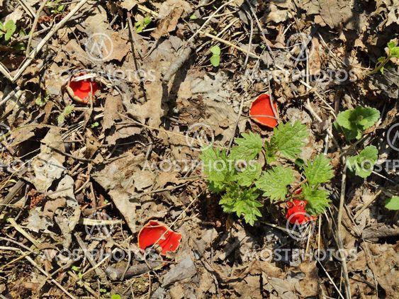 våren svamp