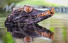 Beautiful close-up portrait of young caiman in water.