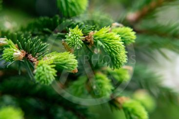 Sprig of spruce with fresh spring growth of needles - a...