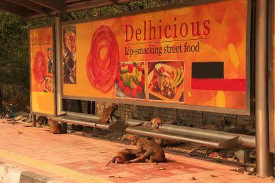 Rhesus Macaques playing at a bus stop, New Delhi