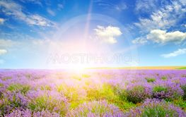 Field with blooming lavender and sun.