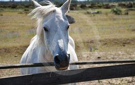 Vit häst i närbild på ölands alvar