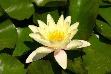 A yellow lily and green pads on a pond.