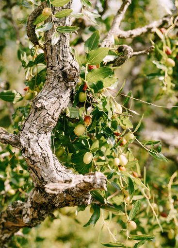 Close-up of tree branches with fruits Zizyphus.