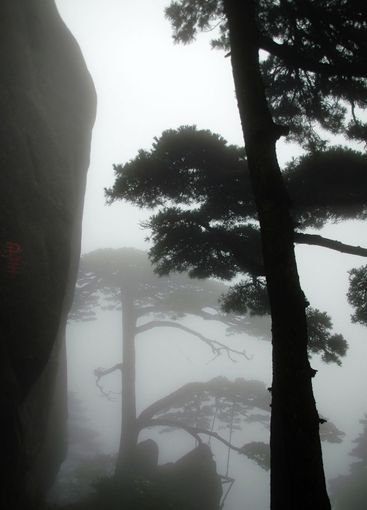 The silhouette of pine tree
