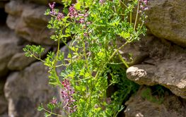 Useful plant (Fumaria officinalis) with pink flowers...