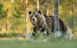 Male brown bear in summer forest background