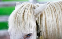 Horsehair close up of beautiful white horse with blue eyes