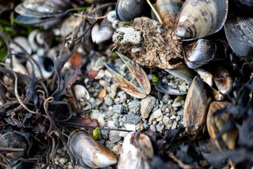 Clam and mussel shells on a pebble beach
