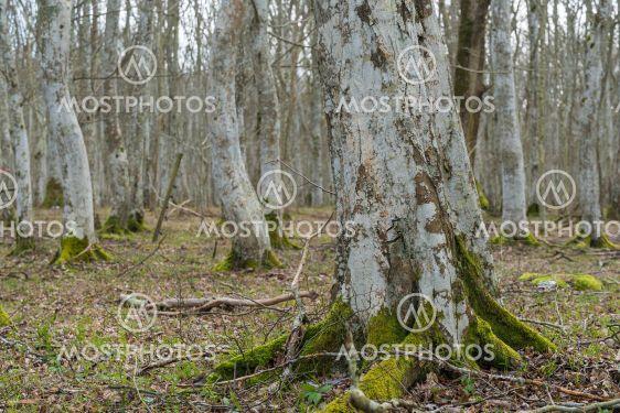I en Öländsk avenbokskog