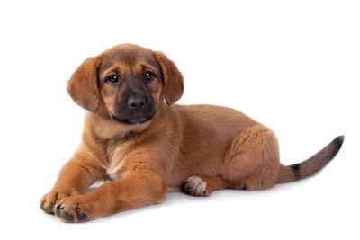 red puppy on white background