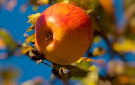 Autumn ripe apple on a background of foliage and sky on...