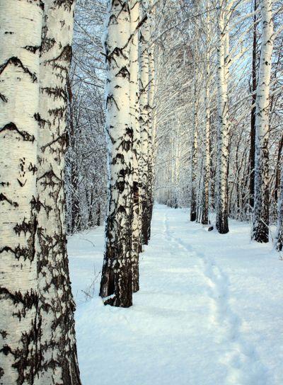 small path in winter birch wood