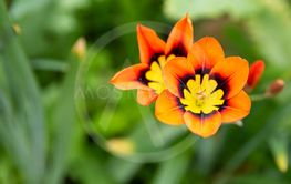 Colorful striking orange and yellow summer flower