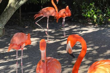 Pink and orange flamingos napping and walking around in...