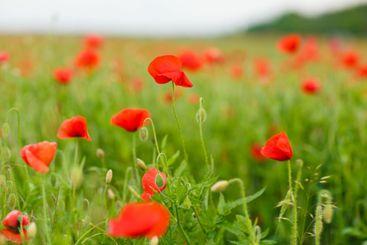 red poppy flower field summer landscape.