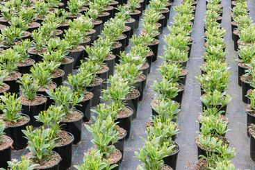 Cultivation of shrub plants (Skimmia) in flowerpots in...