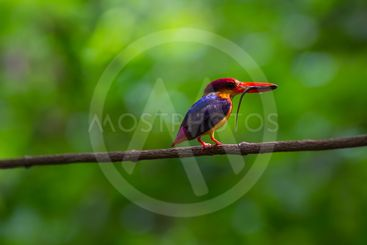 black-backed (oriental dwaft) kingfisher on the branch in...