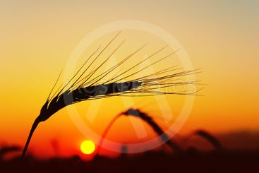 ear of ripe wheat with sun on background