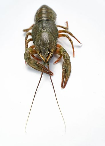 river lobster or crayfish on white background