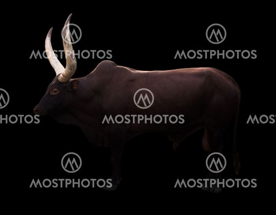 male ankole watusi in dark background