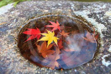 Japanese Maple leaves in stone basin.