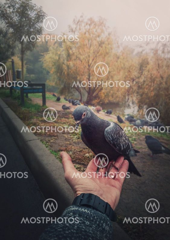Close up male hand holding a single feral pigeon from a...