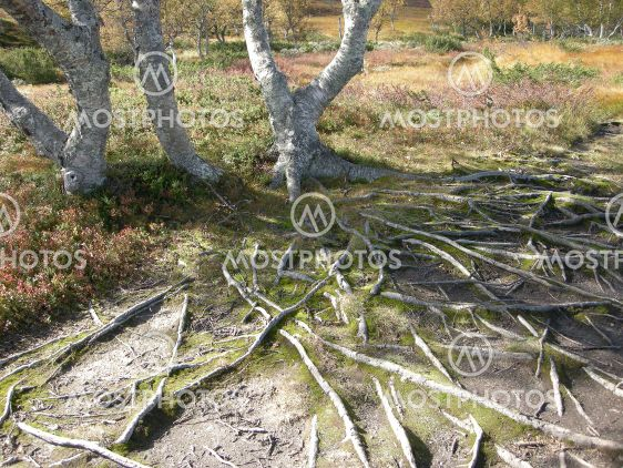 Birch and roots