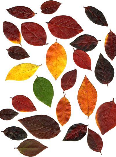 Autumn Leaf Collection XXL