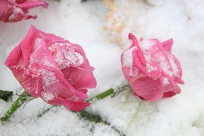 Fuchsia pink roses on snow