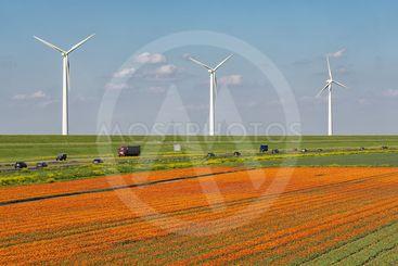 Dutch tulip field along freeway A6 between Lelystad and...