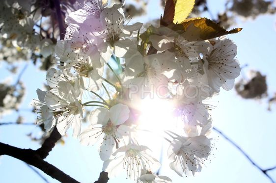 Kirsikan kukat keväällä