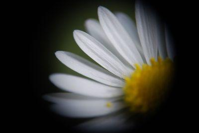 Petals daisy