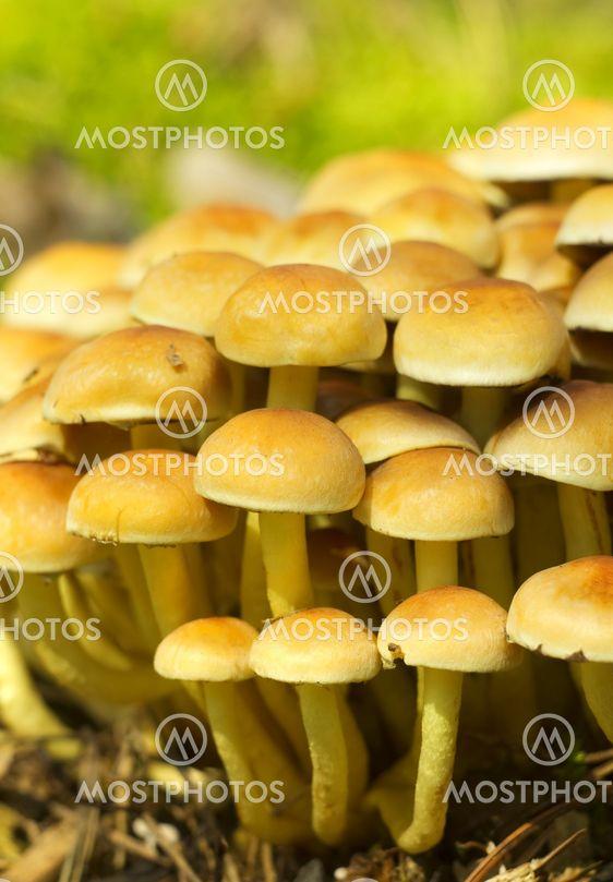 Rikin tukko sieni