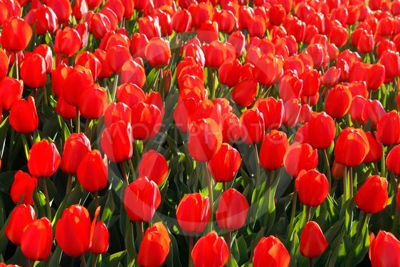 Beautiful red tulips glowing on sunlight