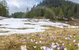 early spring blooming meadow with crocus in Sella di...