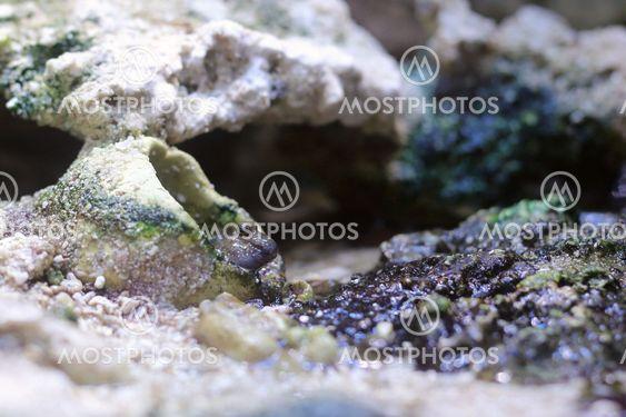 Pearses mudskipper (Periophthalmus novemradiatus) Looking...